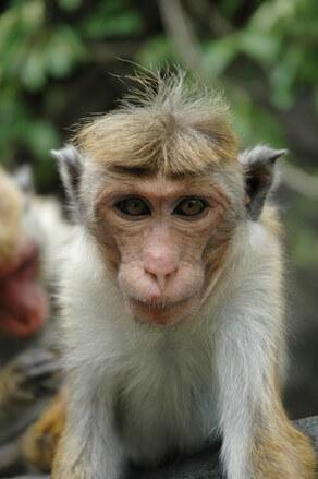 monkey-at-nilaveli-1517039